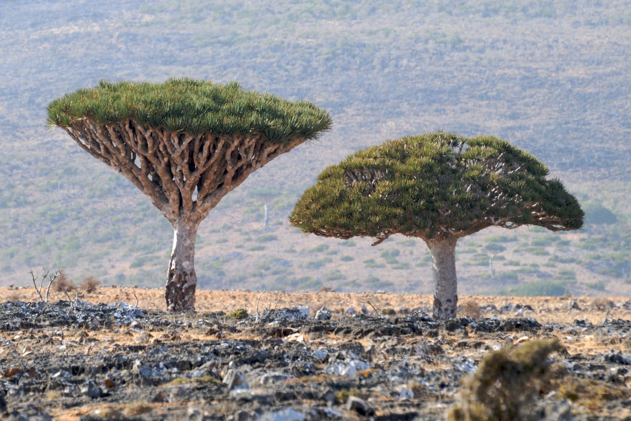 Socotra-island-thesuiteworld-dragon-dracaena-cinnabari-socotra